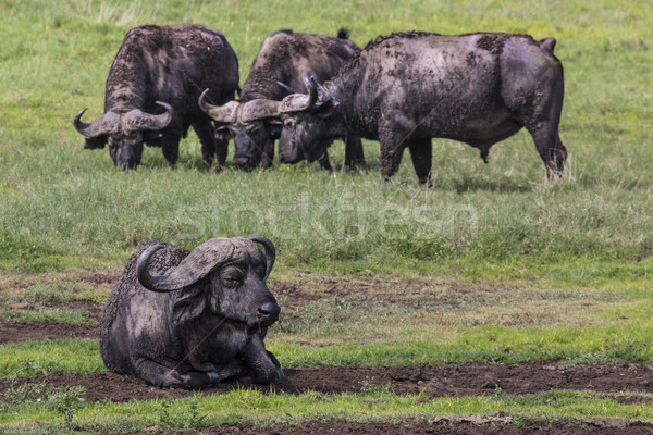 Stock photo: African buffalo (Syncerus caffer) on the grass. The photo was ta