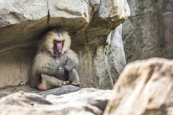 портрет взрослый мужчины бабуин морем обезьяны Сток-фото © Mariusz_Prusaczyk