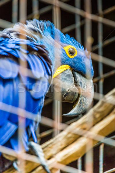 Blue Hyacinth macaw parrot in zoo.  Stock photo © Mariusz_Prusaczyk