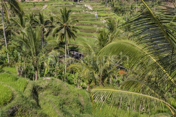 Stok fotoğraf: Güzel · yeşil · teras · alanları · bali · Endonezya