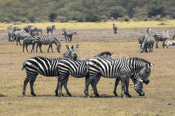 Zebra park Afrika Kenya soyut doğa Stok fotoğraf © Mariusz_Prusaczyk