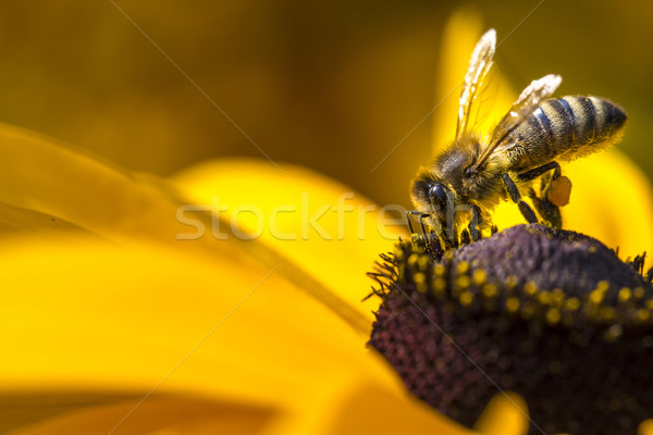 Close-up photo of a Western Honey Bee gathering nectar and spreading pollen on a young Autumn Sun Co Stock photo © Mariusz_Prusaczyk