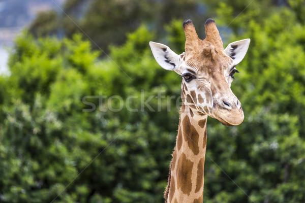 Giraffe head with neck over green background Zdjęcia stock © Mariusz_Prusaczyk