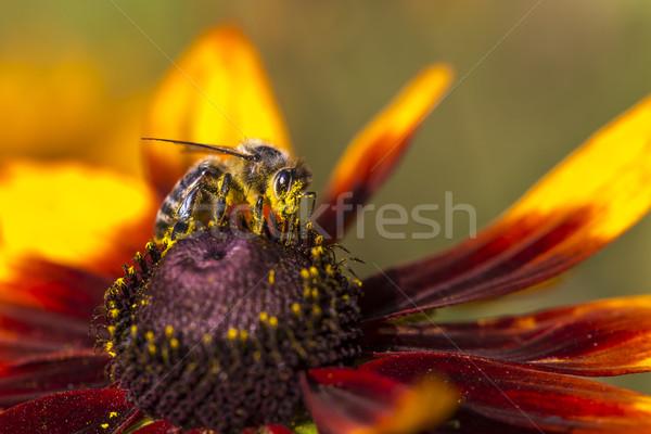 Foto ocidental mel de abelha néctar Foto stock © Mariusz_Prusaczyk