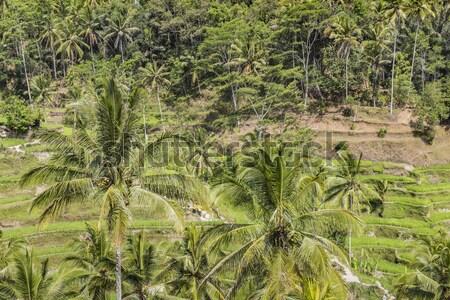 Verde riso campi bali isola Indonesia Foto d'archivio © Mariusz_Prusaczyk