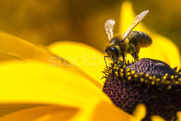Photo ouest abeille rassemblement nectar Photo stock © Mariusz_Prusaczyk