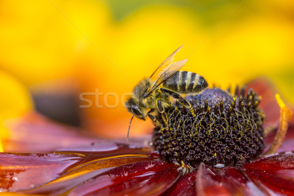 Close-up photo of a Western Honey Bee gathering nectar and spreading pollen. Stock photo © Mariusz_Prusaczyk