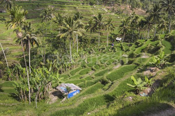 Green rice fields on Bali island, Jatiluwih near Ubud, Indonesia Stock photo © Mariusz_Prusaczyk