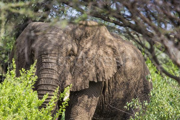 Ogromny słoń afrykański byka parku Tanzania lasu Zdjęcia stock © Mariusz_Prusaczyk