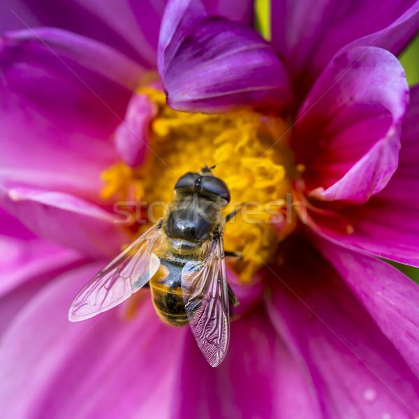 Foto westerse honingbij nectar Stockfoto © Mariusz_Prusaczyk