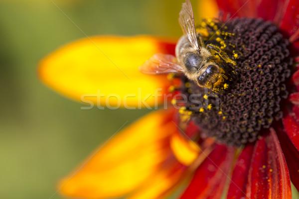 Stok fotoğraf: Fotoğraf · batı · bal · arısı · nektar
