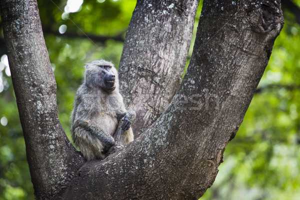Baboon - Tarangire National Park - Wildlife Reserve in Tanzania, Stock photo © Mariusz_Prusaczyk