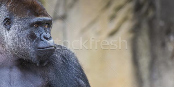 A western lowland female gorilla standing facing forward Stock photo © Mariusz_Prusaczyk