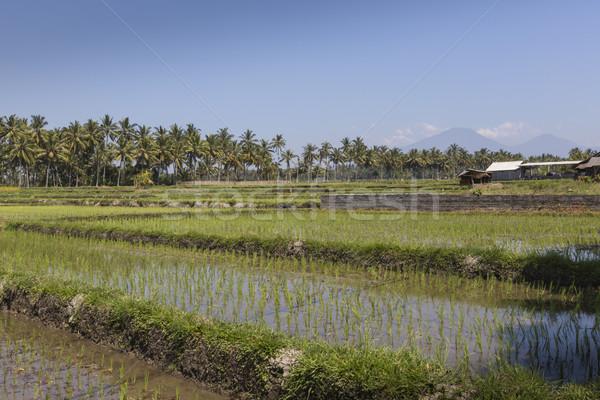Yeşil pirinç alanları bali ada Endonezya Stok fotoğraf © Mariusz_Prusaczyk