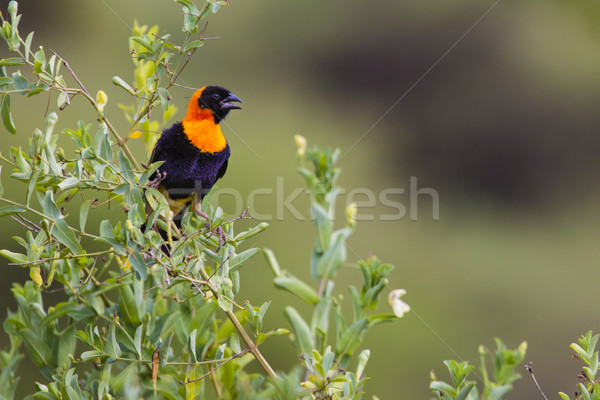 Male yellow bishop bird (Euplectes orix) displaying with puffed  Stock photo © Mariusz_Prusaczyk