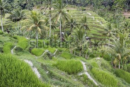 Zöld rizs mezők Bali sziget Indonézia Stock fotó © Mariusz_Prusaczyk