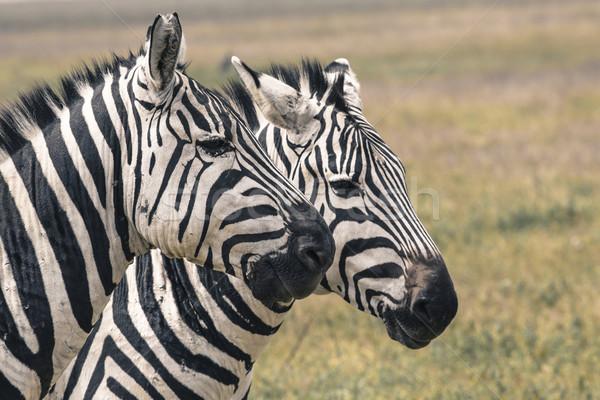 Zebra park afrika Kenia abstract natuur Stockfoto © Mariusz_Prusaczyk