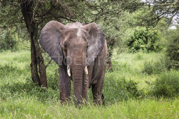 Enorme elefante africano toro parque Tanzania forestales Foto stock © Mariusz_Prusaczyk