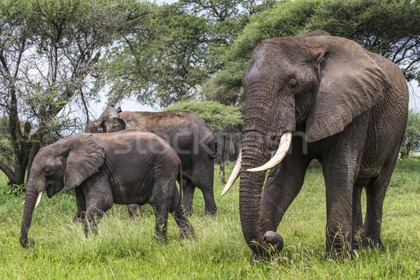 Park Tansania Natur Kopf Elefanten Stock foto © Mariusz_Prusaczyk