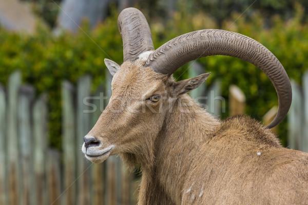 West caucasian tur goat  Stock photo © Mariusz_Prusaczyk