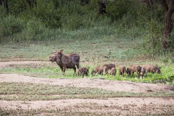 Wody otwór parku Tanzania portret wieprzowych Zdjęcia stock © Mariusz_Prusaczyk