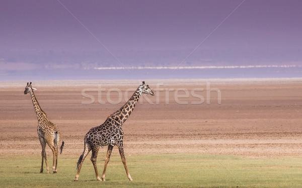 Giraffen See Park Tansania Natur grünen Stock foto © Mariusz_Prusaczyk