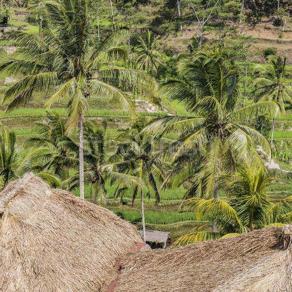 Piękna zielone taras pola bali Indonezja Zdjęcia stock © Mariusz_Prusaczyk