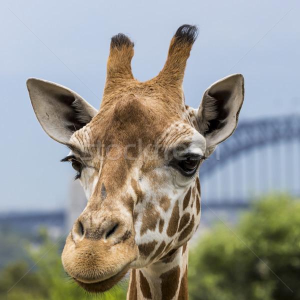 Giraffen dierentuin skyline Sydney Maakt een reservekopie Stockfoto © Mariusz_Prusaczyk