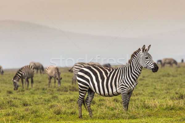 Zebra in National Park. Africa, Kenya Stock photo © Mariusz_Prusaczyk