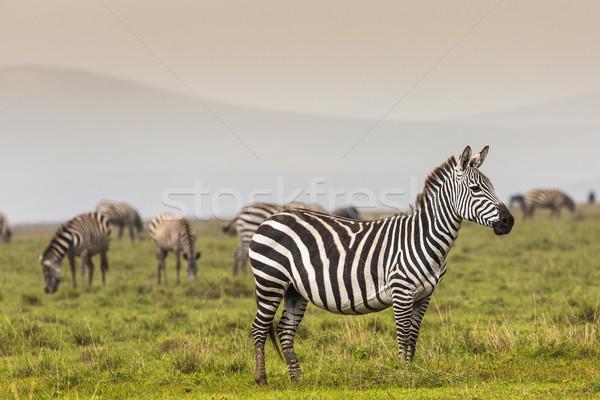 Zebra park Afrika Kenya fű portré Stock fotó © Mariusz_Prusaczyk