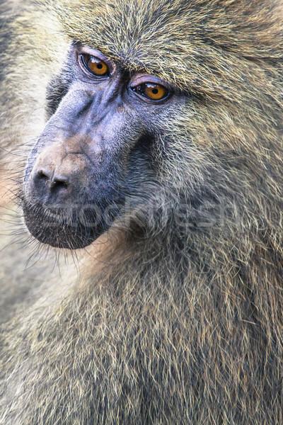 Testa view babbuino parco Tanzania natura Foto d'archivio © Mariusz_Prusaczyk