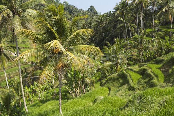 Verde arroz campos bali ilha Indonésia Foto stock © Mariusz_Prusaczyk