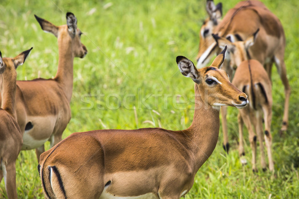 Female impala antelopes in Maasai Mara National Reserve, Kenya. Stock photo © Mariusz_Prusaczyk