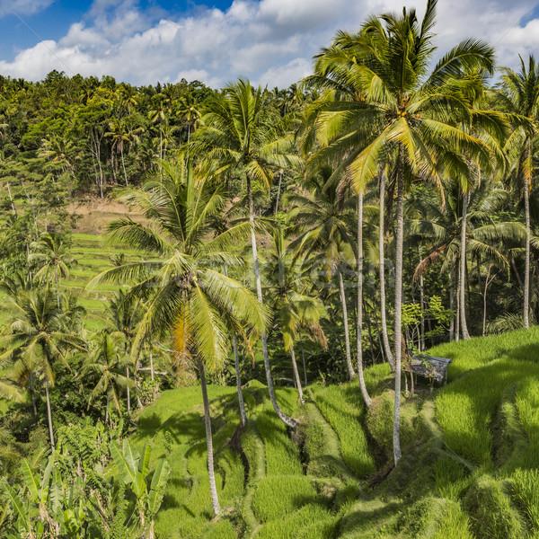 Gyönyörű zöld terasz mezők Bali Indonézia Stock fotó © Mariusz_Prusaczyk