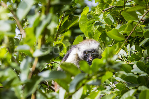 Endangered Zanzibar red colobus monkey (Procolobus kirkii), Joza Stock photo © Mariusz_Prusaczyk