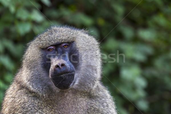 Head view of Anubus baboon in Tarangire National Park, Tanzania Stock photo © Mariusz_Prusaczyk