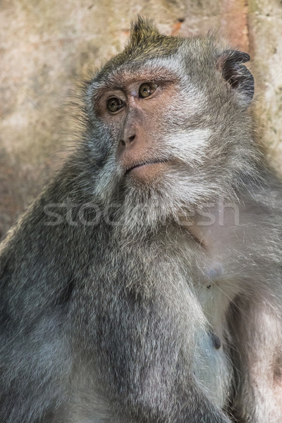 Mono sagrado forestales bali Indonesia árbol Foto stock © Mariusz_Prusaczyk