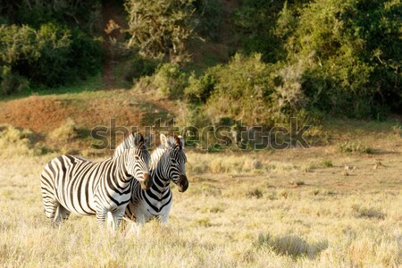 Two Zebra standing in a similar position Stock photo © markdescande