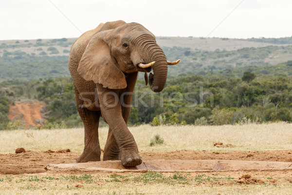 Bush Elephant climbing in the watering hole Stock photo © markdescande