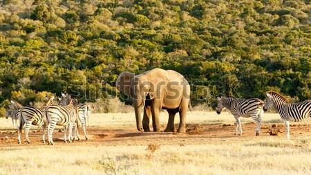Meu água africano arbusto elefante zebra Foto stock © markdescande