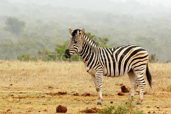 Burchell's Zebra standing and waiting  Stock photo © markdescande
