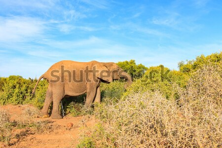 African Bush Elephant taking a dump and a wee at the same time Stock photo © markdescande