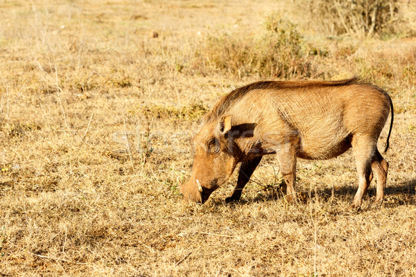 The common warthog sniffing the grass Stock photo © markdescande