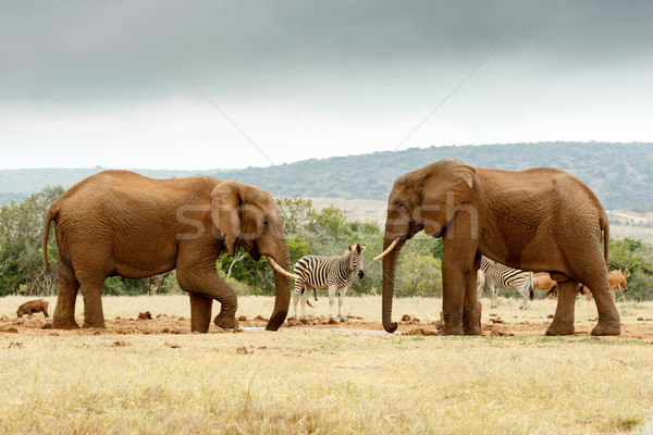 Bush Elephant lifting his leg while the other Elephant stare at  Stock photo © markdescande