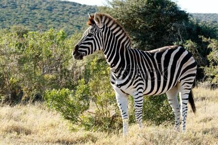 Gyönyörű zebra áll mező feketefehér zöld Stock fotó © markdescande