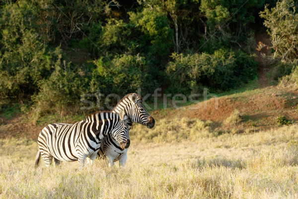 A Zebra giving a good rub against the other Stock photo © markdescande