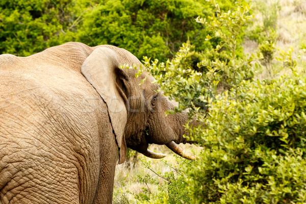 Bush éléphant manger permanent forêt Photo stock © markdescande