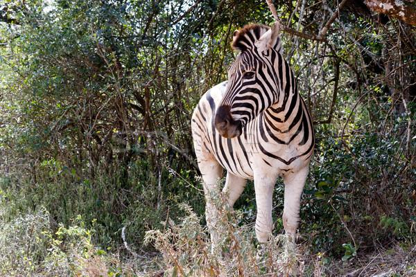 Zèbre regarder énorme Bush derrière herbe Photo stock © markdescande