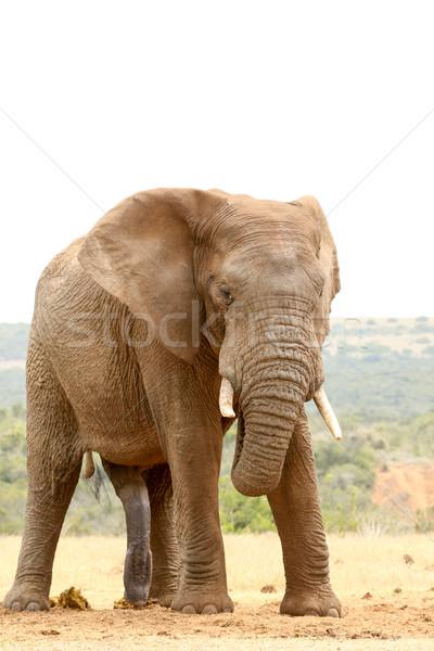 Bush éléphant Rechercher moi permanent forêt Photo stock © markdescande