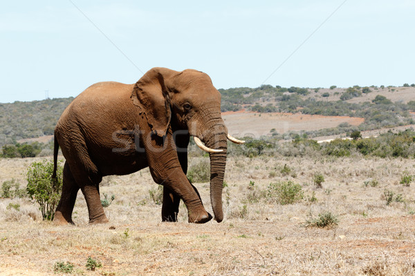 Big Male African Bush Elephant  Stock photo © markdescande